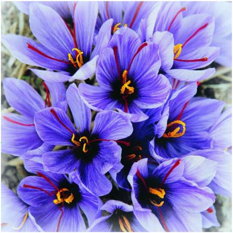 Šafrán setý - Crocus sativus